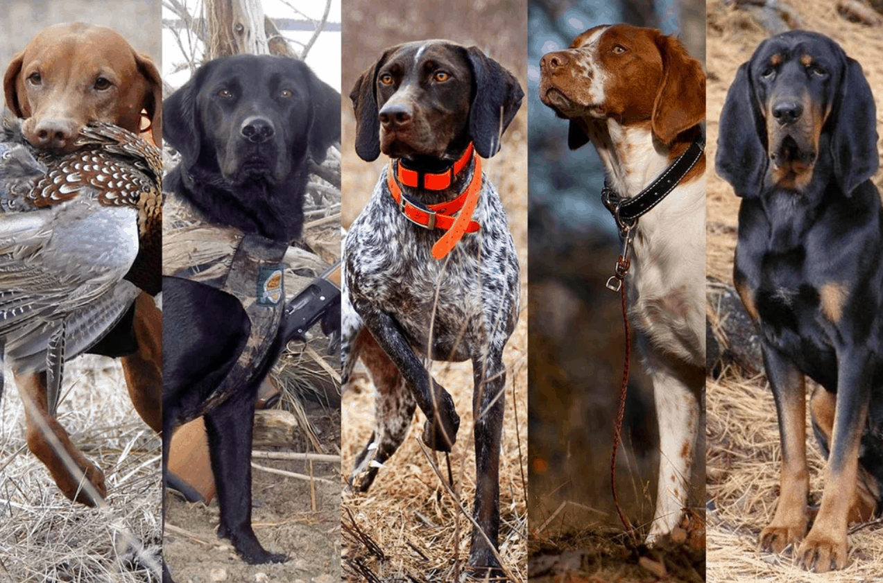 5_dog_breeds_hunting_dogs_001